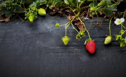 strawberries-828627_1280-1